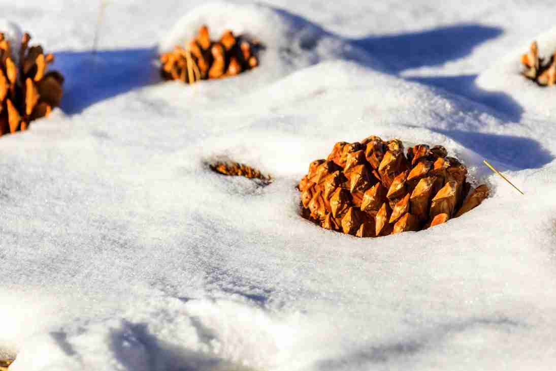 Print of Pine Cones Resting in the Snow in Carson Valley Photo