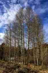 Print of White Birch Trees at Winter Near South Tahoe Photo