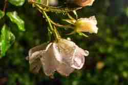 Print of Wet White Roses Photo