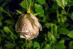 Print of a Single Wet White Rose Photo