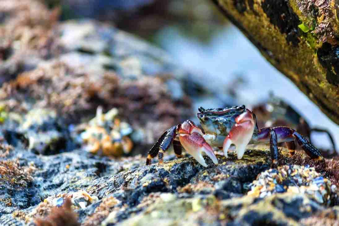 Print of a Tide Pool Crab in Corona Del Mar Photo