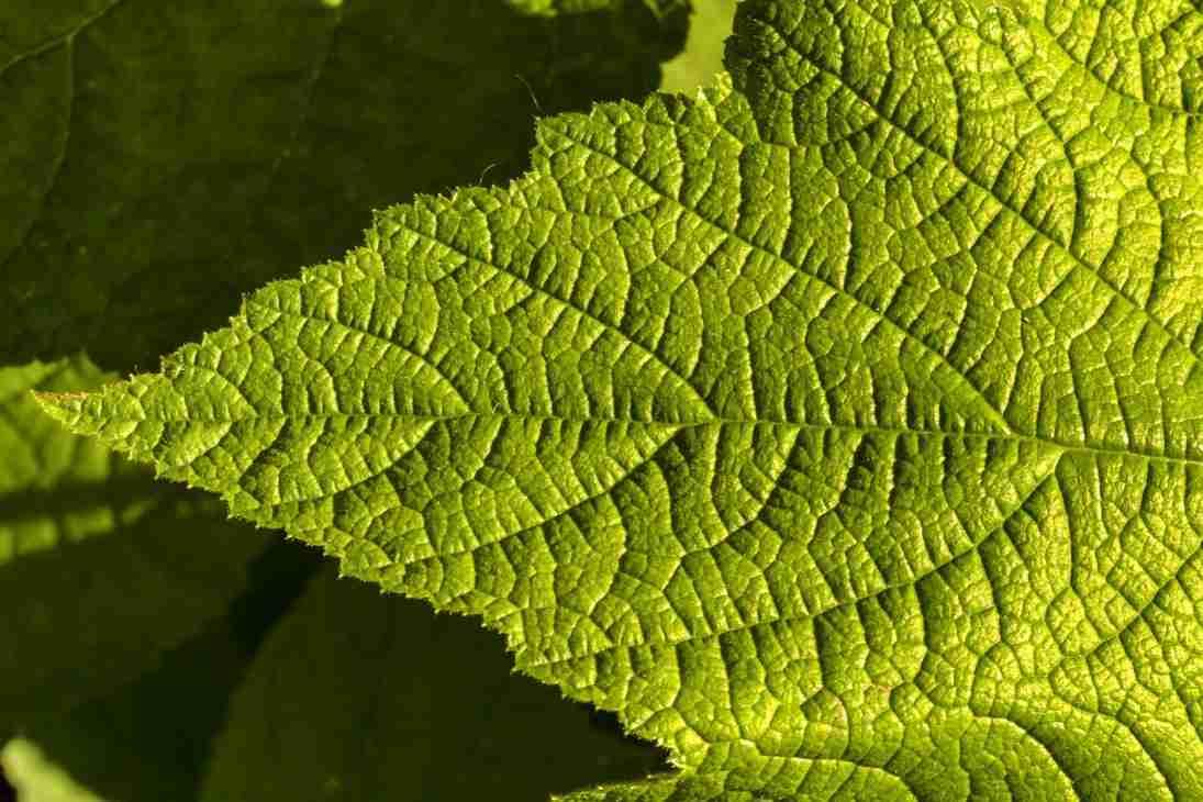 Print of a Deep Green Leaf at Oak Glen Photo