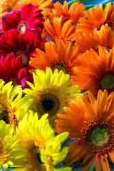 Print of Yellow, Orange and Purple Gerbera Daisies Photo