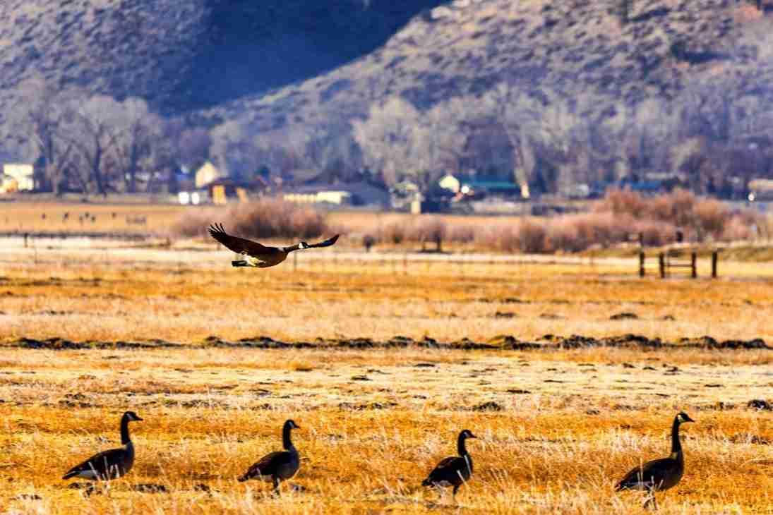 Print of Geese Coming in for a Landing in Carson Valley Photo