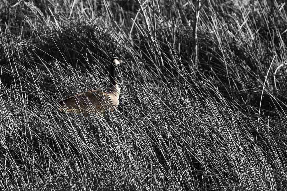 Print of Goose Hiding in Tall Grass in Minden Nevada Photo
