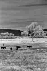 Print of Cattle Grazing in Carson Valley Nevada Photo