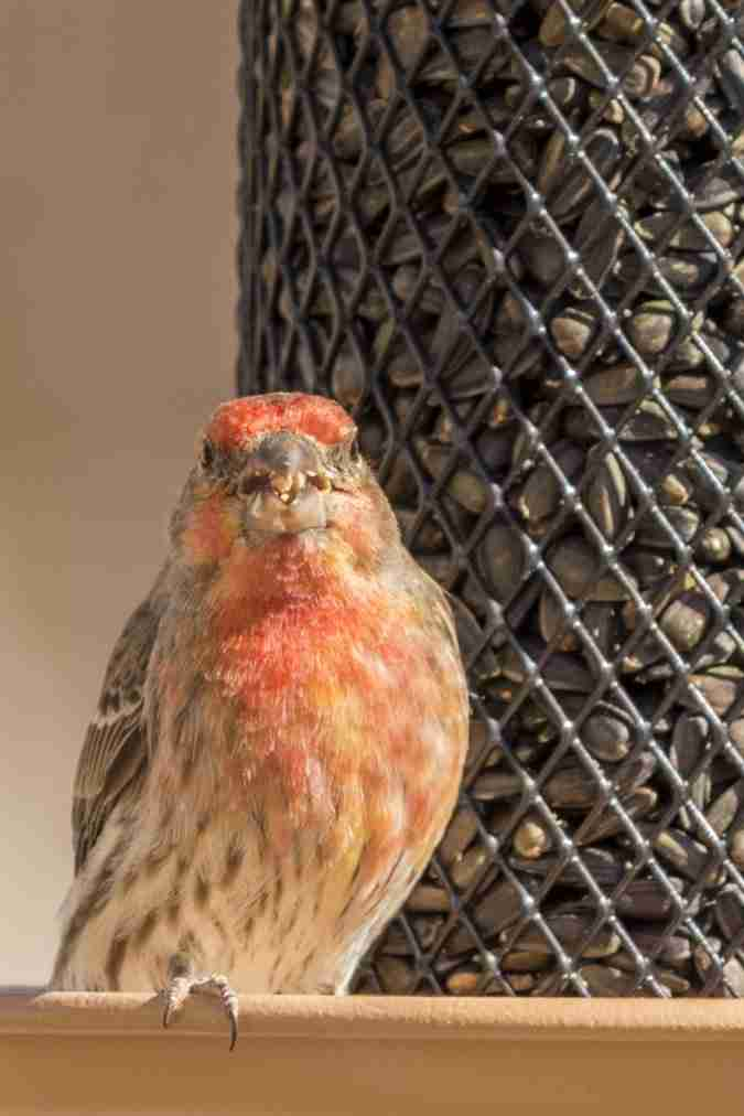 Photograph of a Male Finch Eating Dinner