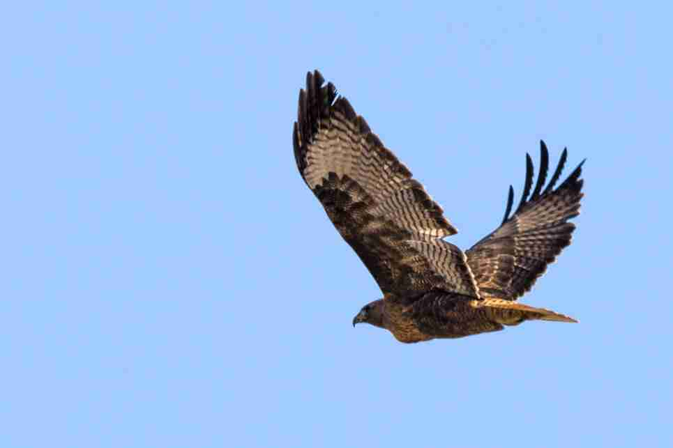 Photograph of a Red-Tailed Hawk Flying