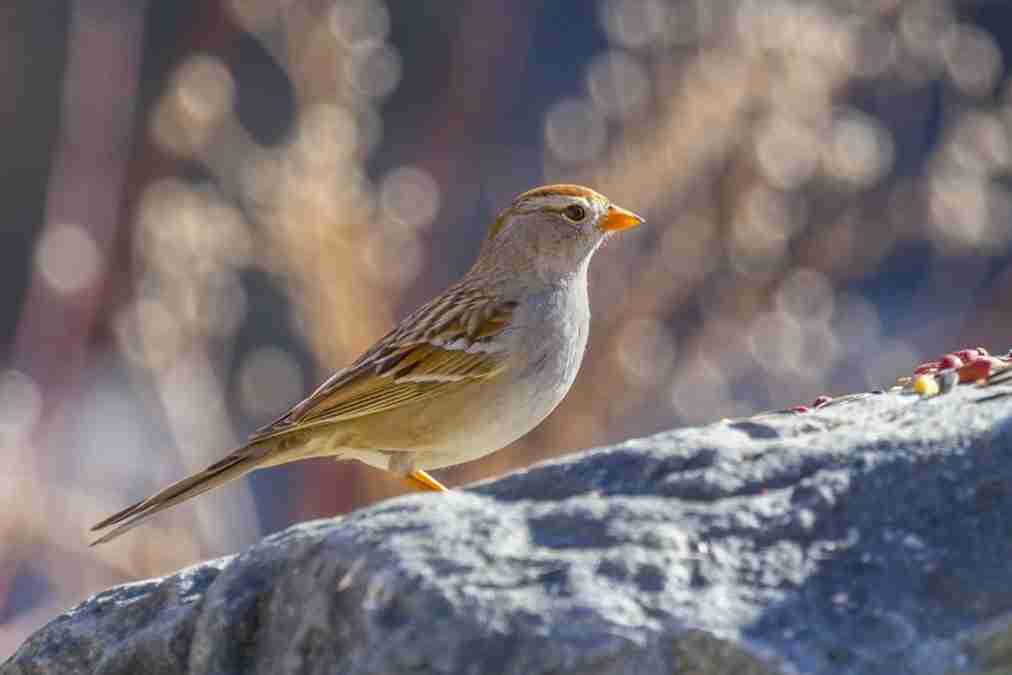Print of a Female Sparrow Bird on a Rock Photo
