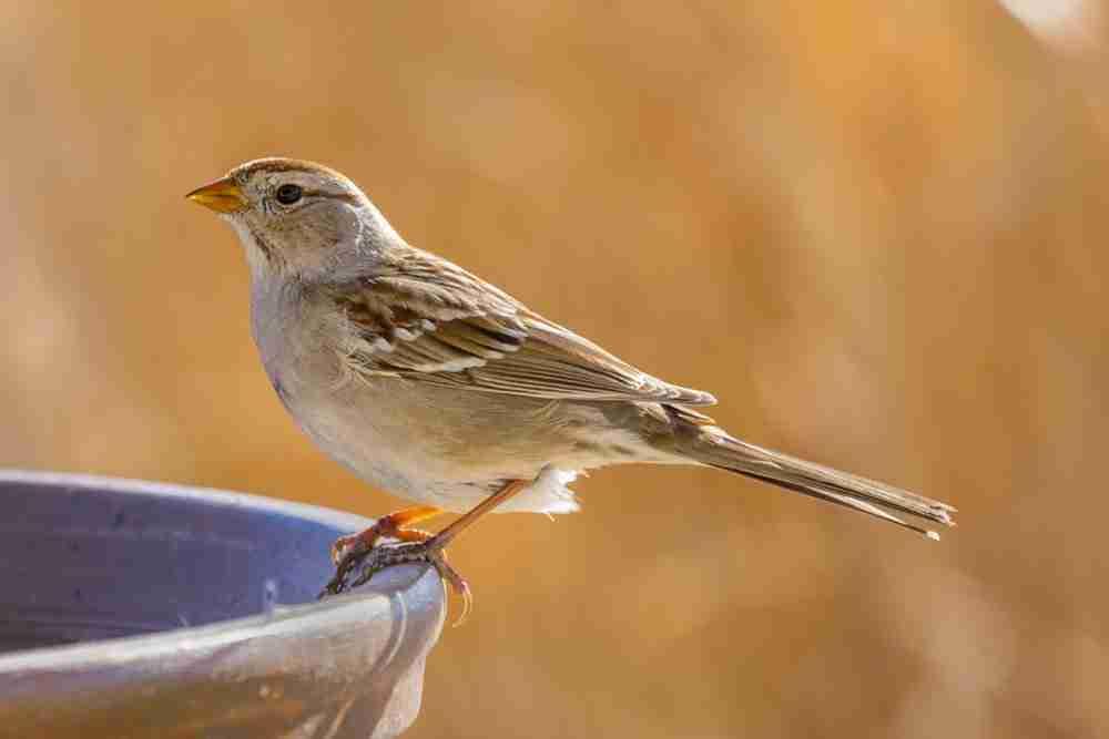 Print of a Female Sparrow Bird Photo