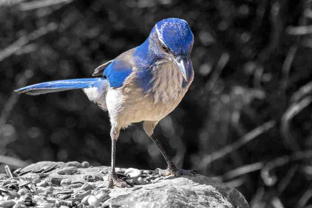 Print of a Western-Scrub Jay Bird Photo