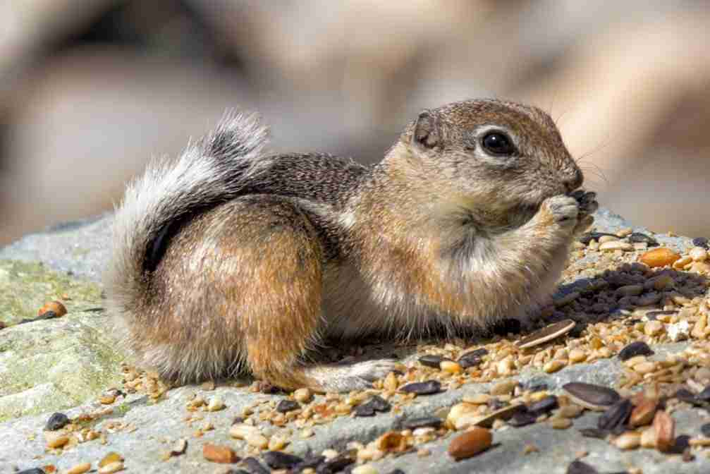 Print of a Chipmunk Eating Seeds Photo