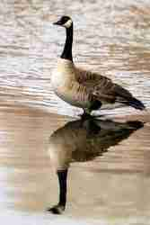 Print of a Reflection of a Canada Goose Photo