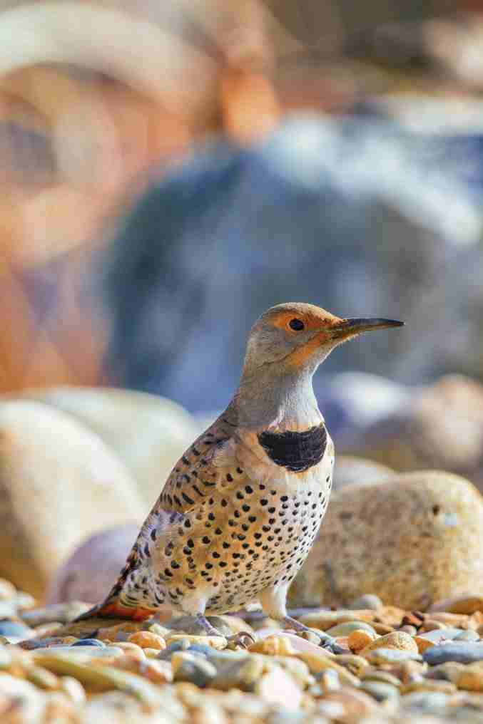 Print of a Northern Flicker Bird Posing Photo