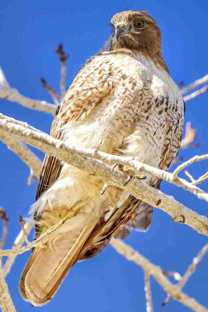 Print of a Red-Tailed Hawk Looking Down Photo