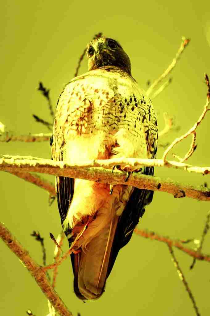 Print of a Red-Tailed Hawk Staring into the Distance Photo