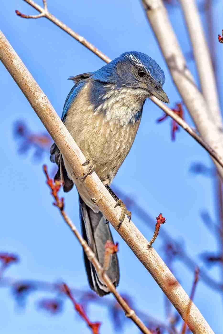 Print of a Blue Western Scrub Jay Bird on a Branch Photo