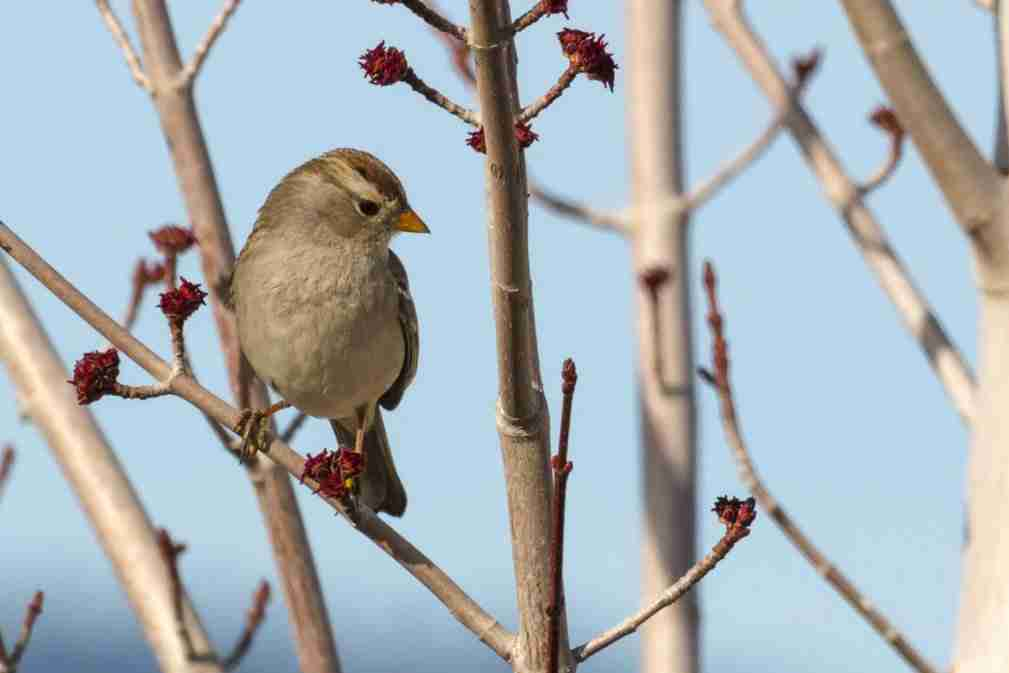 Photograph of a Female Finch