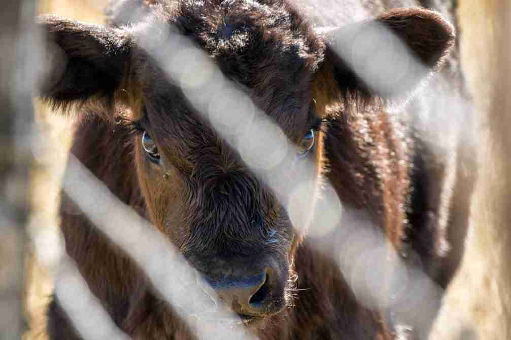 Photo of a Calf Behind a Fence