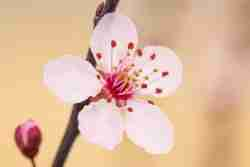 Print of a Plum Blossom Flower Photo