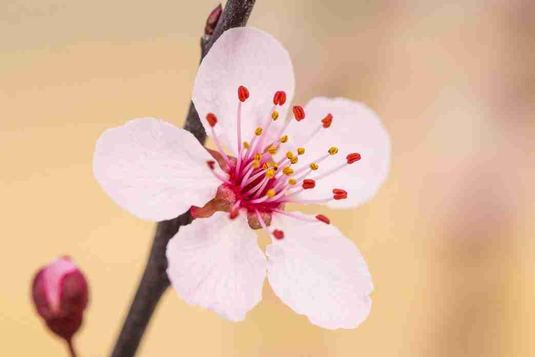 Print of a Plum Blossom Flower Photo