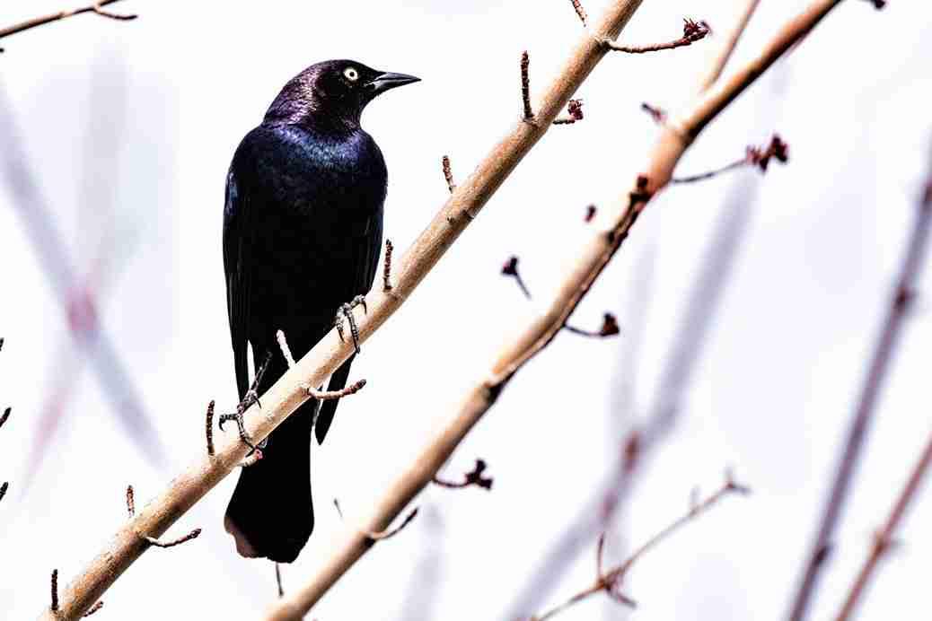 Photo of a Brewer's Blackbird