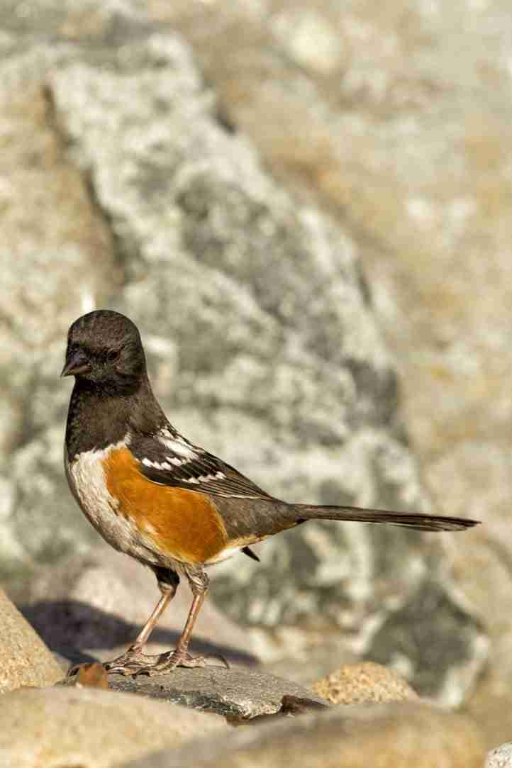 Photo of a Spotted Towhee Bird