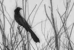 Photo of a Great Tailed Grackle