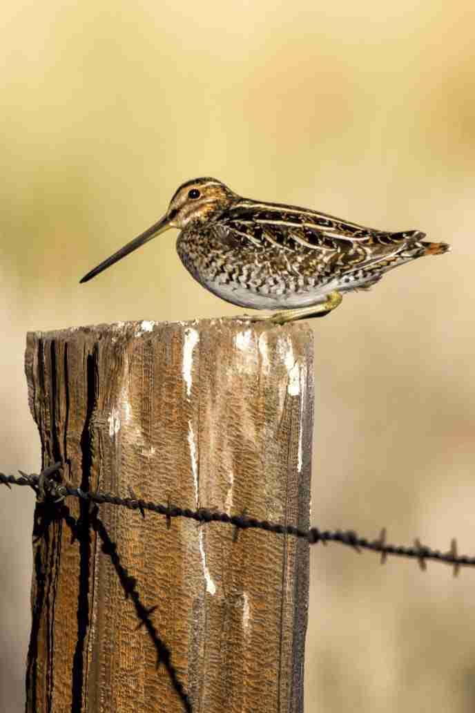 Photo of Wilson's Snipe Bird