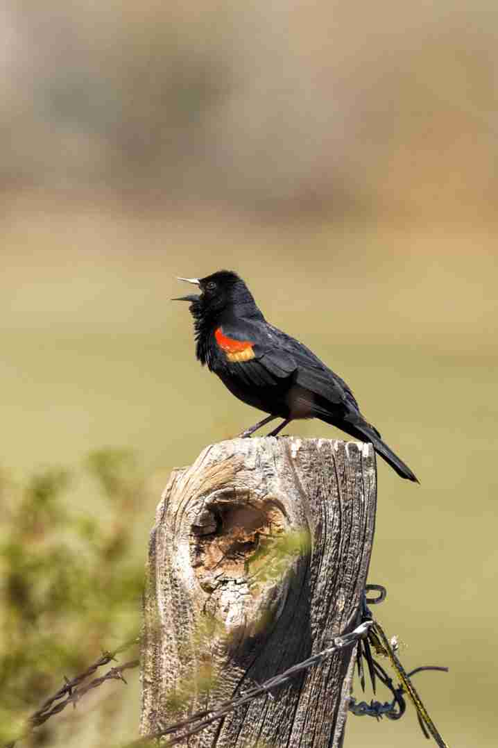 Print of a Red-Winged Blackbird Chirping Photo