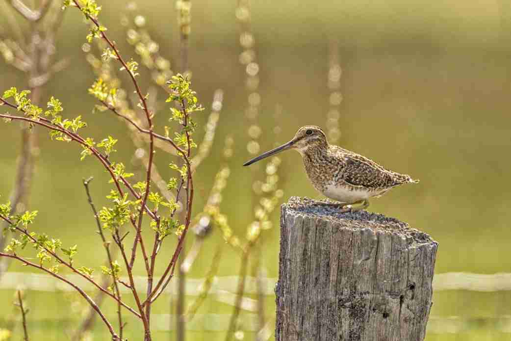 Print of a Wilson's Snipe Bird on Lookout Duty Photo