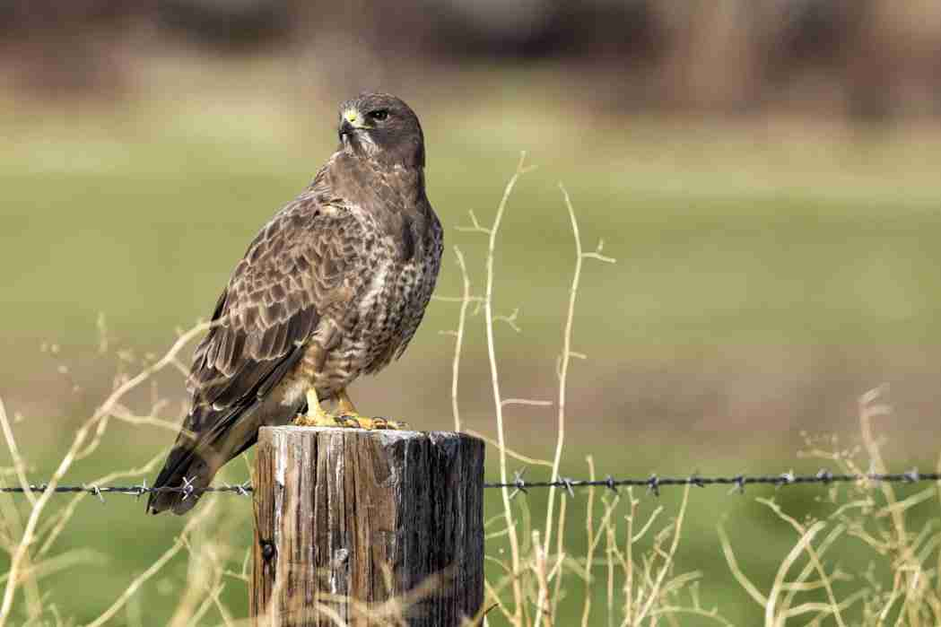 Print of a Red-Tailed Hawk Waiting for Lunch Photo