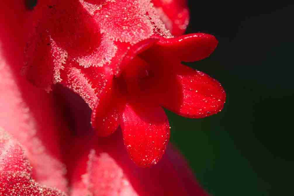 Print of a Red California Snow Flower