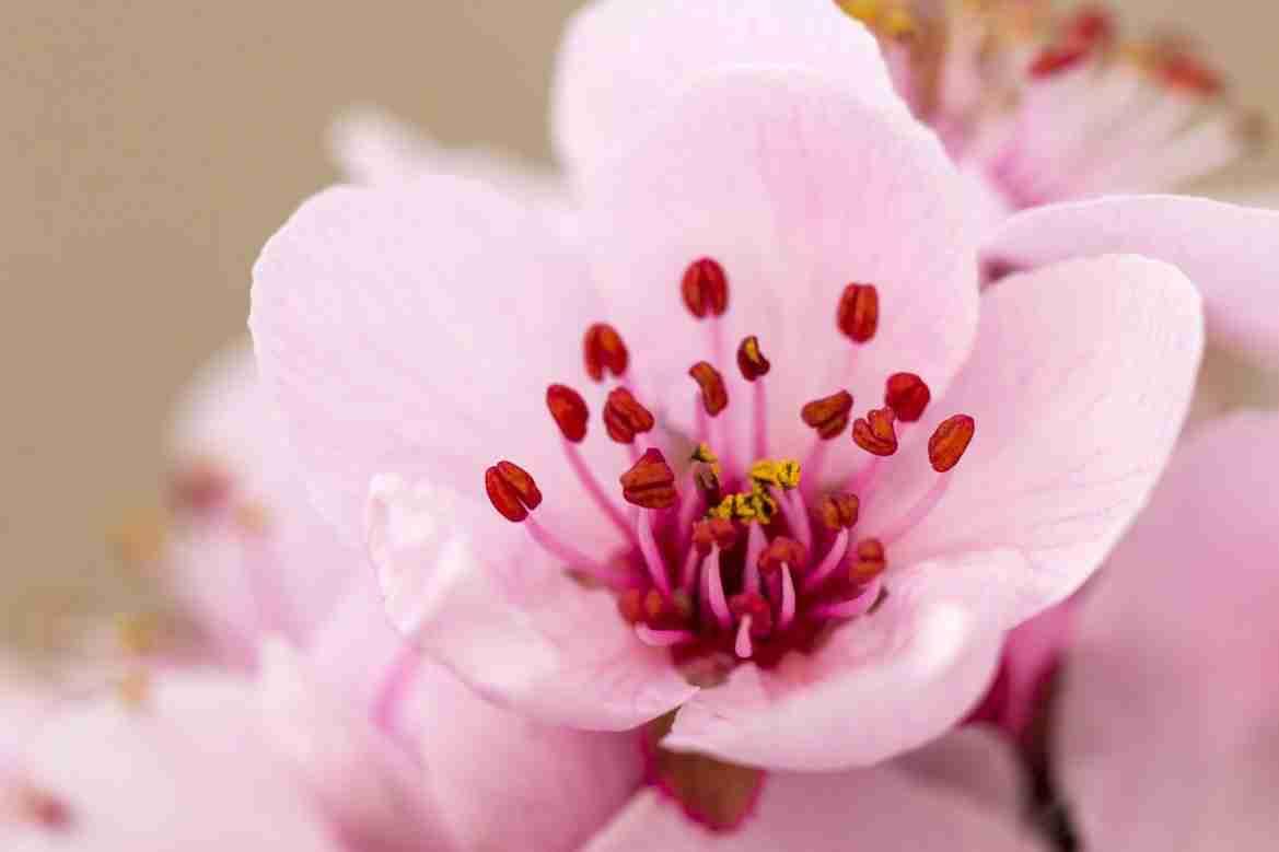 Print of a Plum Tree Blossom