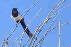 Print of a Black Billed Magpie on Dried Branches