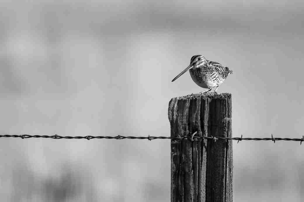 Black & White Print of a Wilson's Snipe Bird