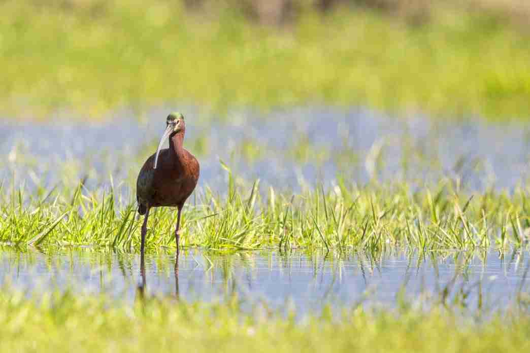 Print of a White Faced Ibis Standing In Water