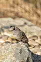 Print of a California Quail on a Rock