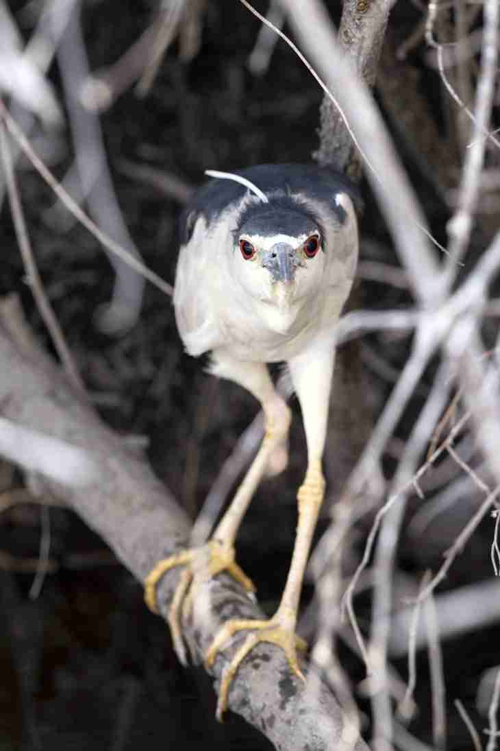 Print of a Black-Crowned Night Heron Looking at You