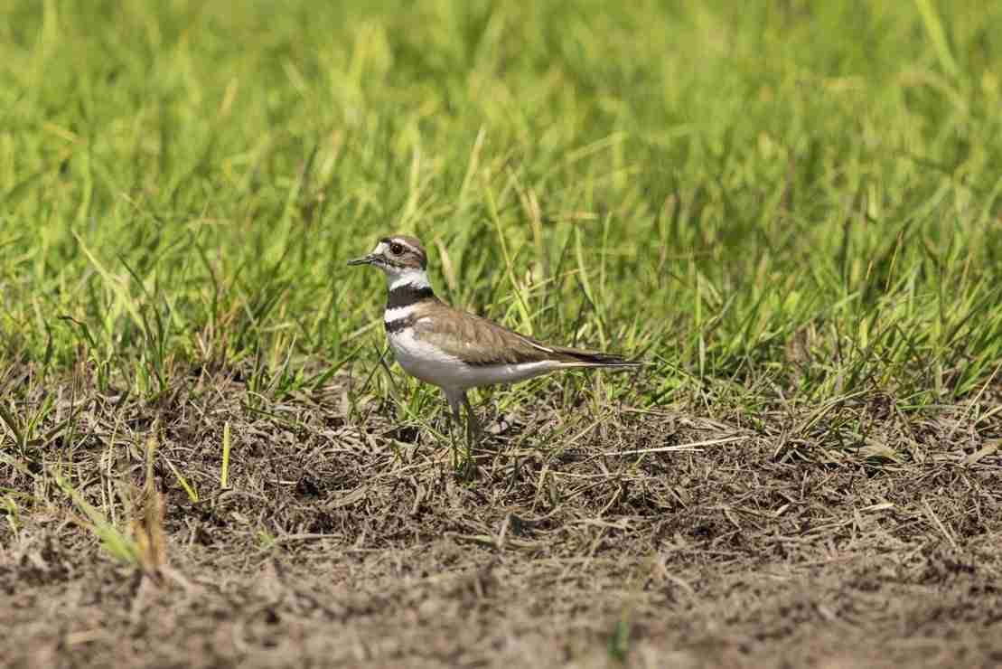 Print of a Killdeer Bird in a Field