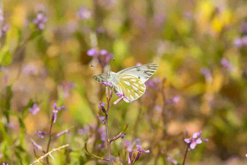 Print of a White and Yellow Butterfly