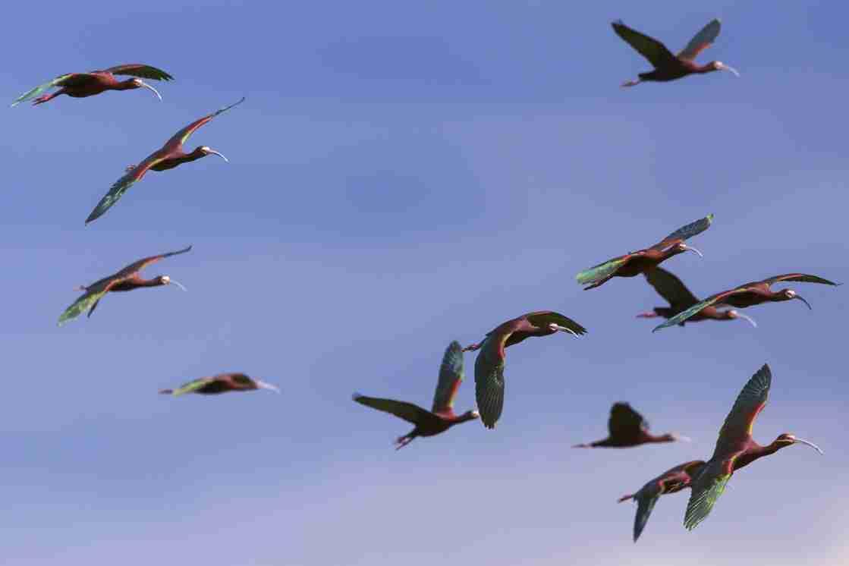 Print of White Faced Ibis Birds