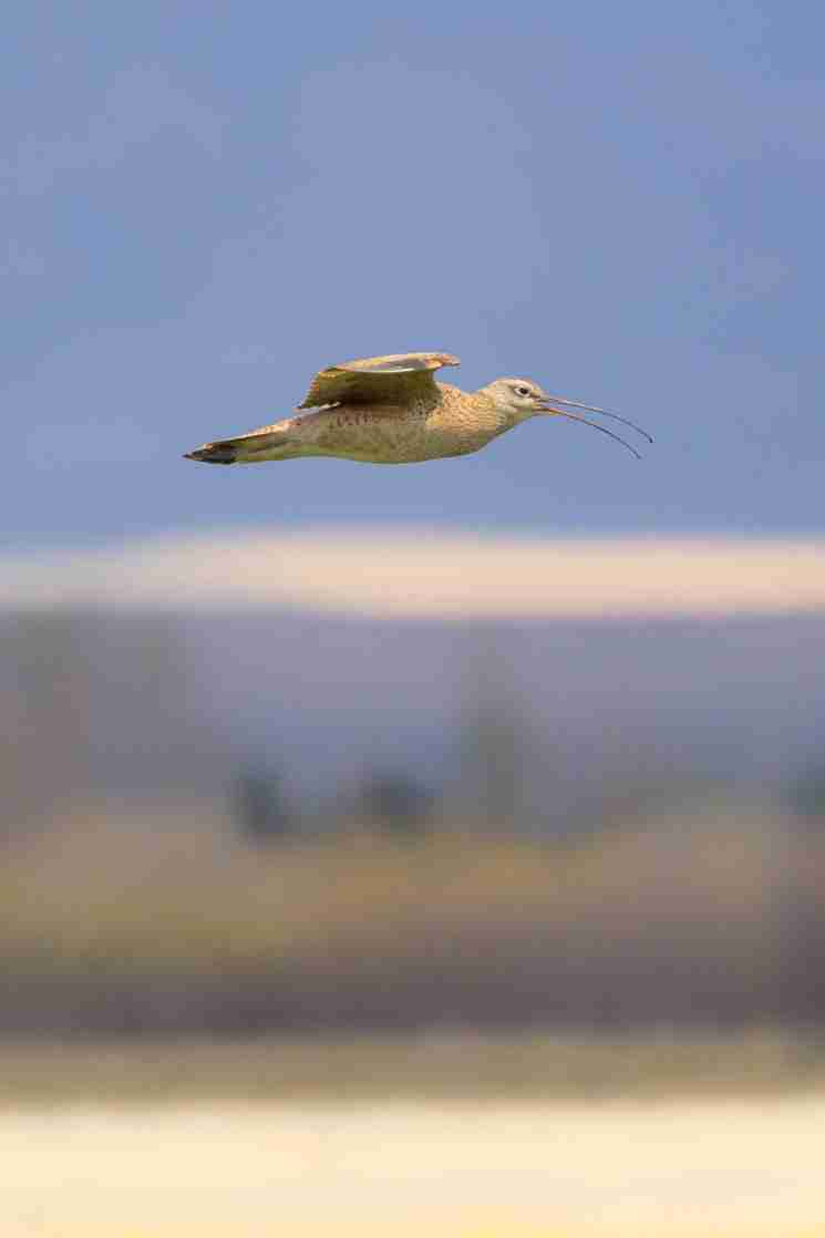 Print of a Long-Billed Curlew Bird in Flight