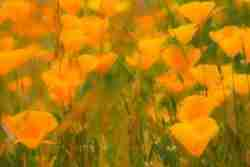 Print of California Poppies in Bloom