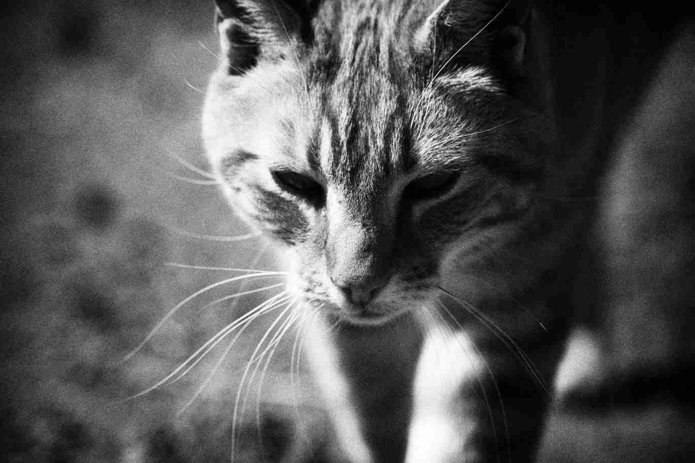 Black & White Print of a Farm Cat on the Hunt