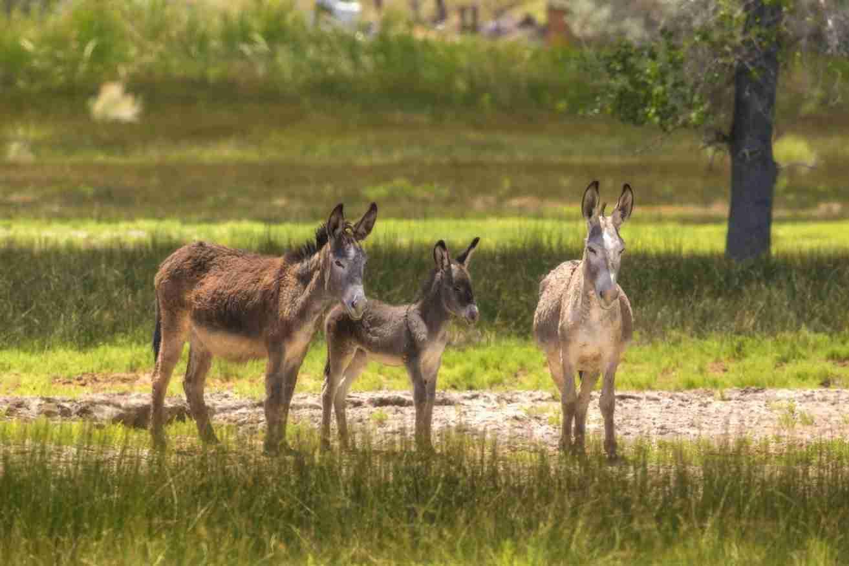 Print of Three Wild Donkeys