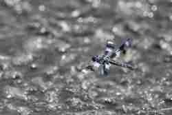 Print of a Black and Blue Winged Dragonfly