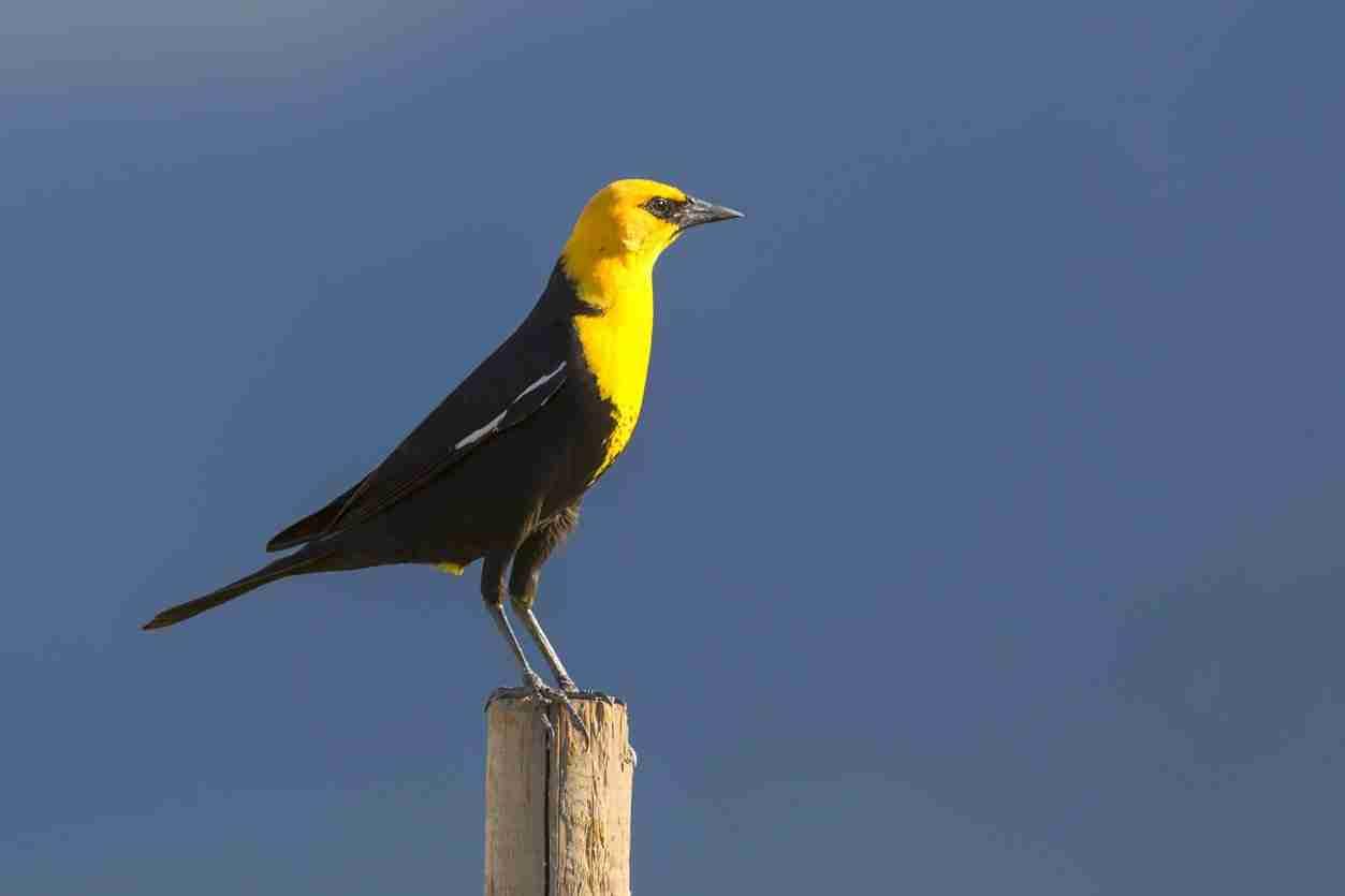 Print of a Yellow-Headed Blackbird