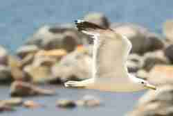 Print of a Seagull Flying over Rocks at Lake Tahoe