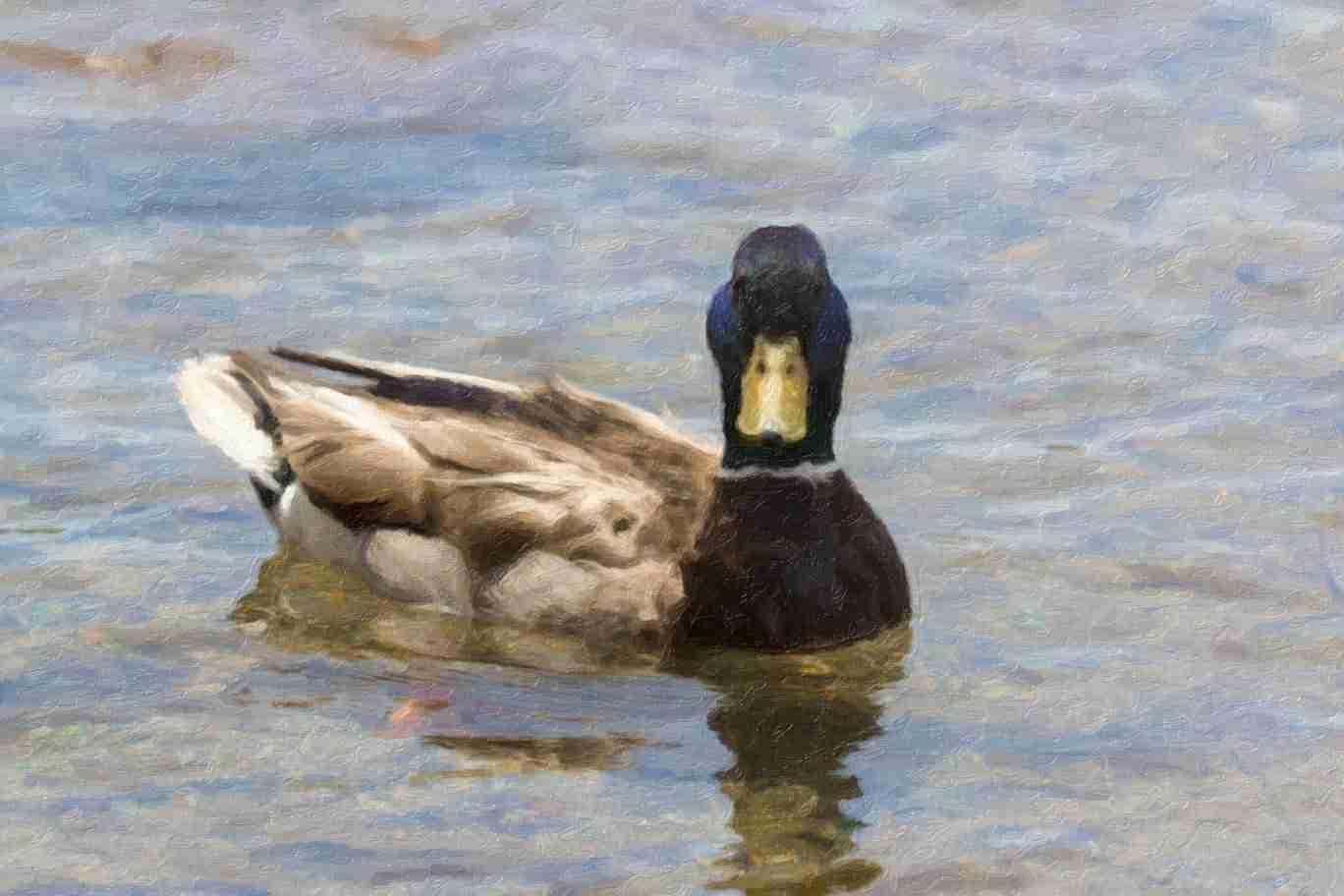 Print of a Male Mallard Duck Swimming